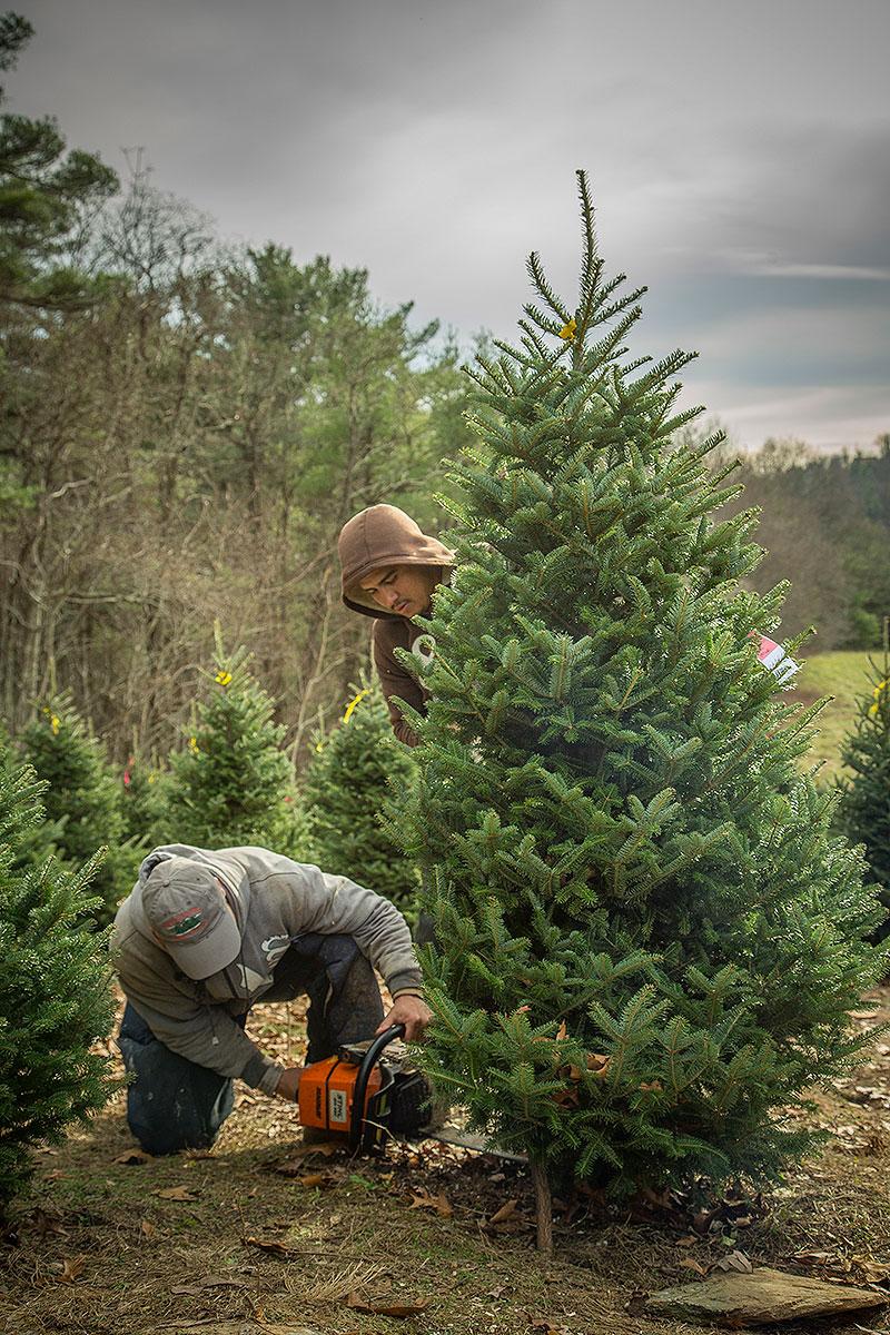 Lil Grandfather Mountain Christmas Tree Farm